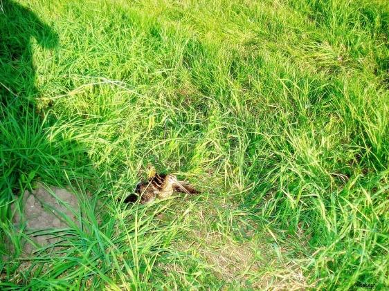 Szegény erdei szalonkának törött volt a szárnya. :/